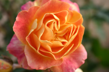 Paroles de roses les roses fraiches imprim es - Rouille rosier traitement naturel ...